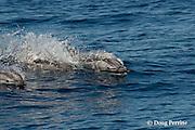 striped dolphins, Stenella coeruleoalba, porpoising along surface of ocean, Pelagos Sanctuary for Mediterranean Marine Mammals, Ligurian Sea, Mediterranean Sea, Italy