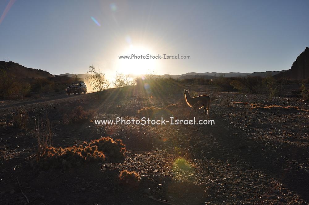 A llama at sunset photographed in the Canon Del Inca, Tupiza Chichas Range, Bolivia