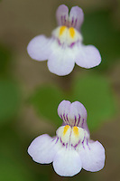 Ivy-leaved Toadflax (Cymbalaria muralis) flowers, close-up. Pont-du-Chateau, Auvergne, France.