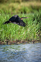African Darter in flight in the Okavango Delta, Botswana.