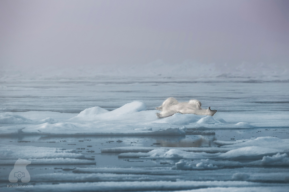 A polar bear yawns after waking up from his slumber on the drifting ice, in the north west of Spitsbergen, in the archipelago of Svalbard. Polar bears sleep seven to eight hours a day and will nap often to conserve energy. That energy is used to swim or walk over long distances in the search for seals, their main staple.