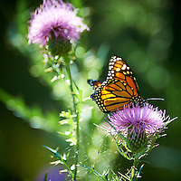 Late Monarch Butterfly on a Thistle Bloom. Fall Nature in New Jersey. Image taken with a Nikon D4 and 300 mm f/2.8 VR lens. (ISO 110, 300 mm, f.2.8, 1/320 sec).