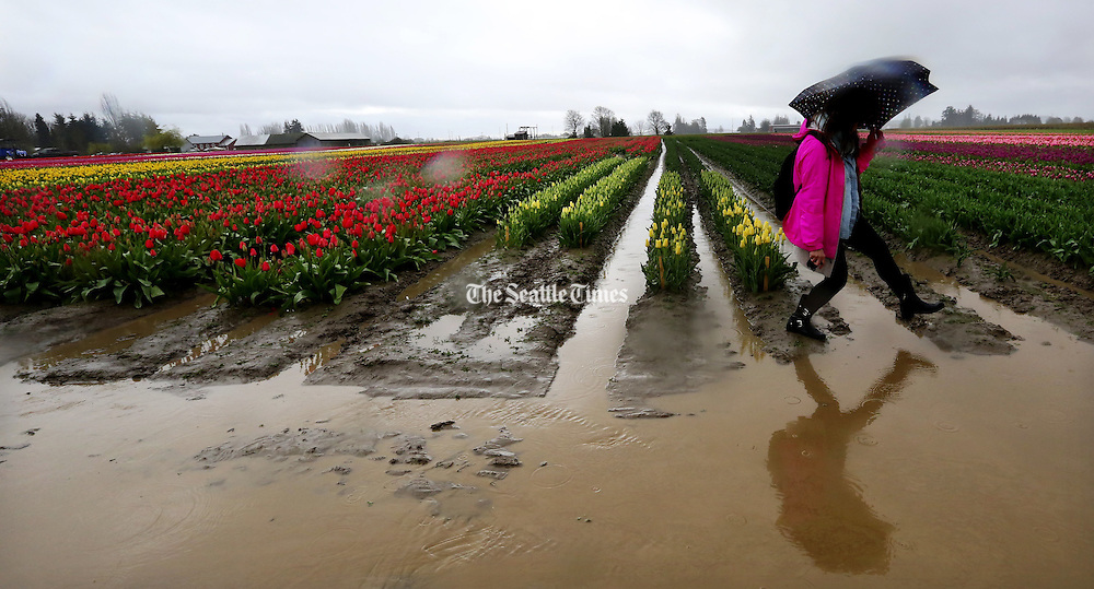 A woman carefully steps across the ends of the rows of tulips to avoid muddy troughs of water on the first weekend of spring in Skagit Valley. <br />