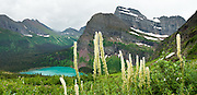 """Angel Wing and Mount Gould tower over blue-green Grinnell Lake and bear grass on the Grinnell Glacier Trail in Glacier National Park, Montana, USA. Bear grass (Xerophyllum tenax, or synonym Helonias tenax) is a grasslike perennial in the family Melanthiaceae, closely related to lilies. Bear grass (also called squaw grass, soap grass, quip-quip, and Indian basket grass) thrives after fire clears surface vegetation. Since 1932, Canada and USA have shared Waterton-Glacier International Peace Park, which UNESCO declared a World Heritage Site (1995) containing two Biosphere Reserves (1976). Rocks in the park are primarily sedimentary layers deposited in shallow seas over 1.6 billion to 800 million years ago. During the tectonic formation of the Rocky Mountains 170 million years ago, the Lewis Overthrust displaced these old rocks over newer Cretaceous age rocks. Glaciers carved spectacular U-shaped valleys and pyramidal peaks as recently as the Last Glacial Maximum (the last """"Ice Age"""" 25,000 to 13,000 years ago). Of the 150 glaciers existing in the mid 1800s, only 25 named glaciers remain in the park as of 2010, and all may disappear as soon as 2020, say climate scientists. (Panorama stitched from 3 overlapping images.)"""
