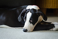 Great Dane puppy rests briefly while considering mischief.