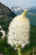 Bear grass (Xerophyllum tenax, or synonym Helonias tenax) is a grasslike perennial in the family Melanthiaceae, closely related to lilies. Hike the Garden Wall Trail from Logan Pass through fields of flowers in late July in Glacier National Park, Montana, USA.