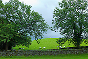Sheep in lakeland scene near Grasmere in the Lake District National Park, Cumbria, UK
