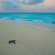 Baby green turtle preparing to enter ocean for the first time. Riviera Maya, Quintana Roo. Mexico.