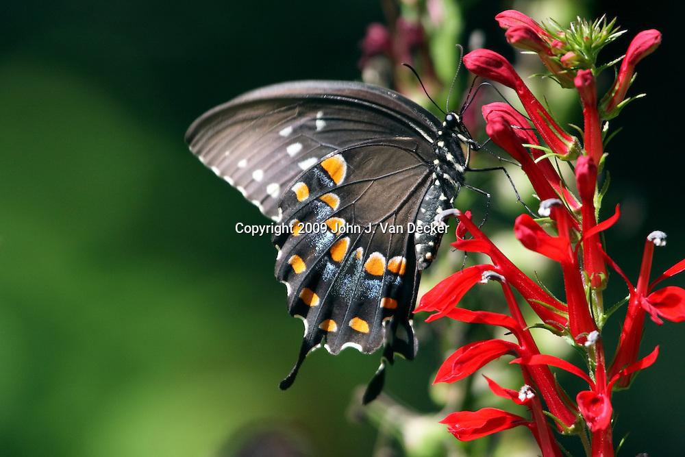 Black Swallowtail Butterfly feeding on Cardinal Flowers