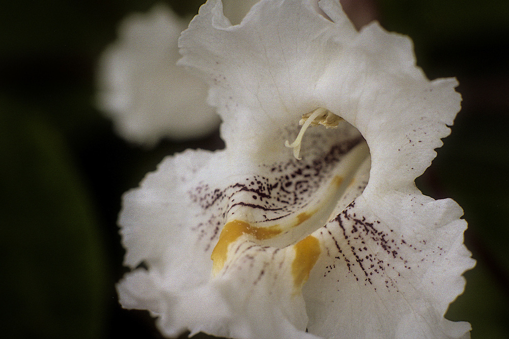 Close up of a white Catalpa Flower, Smithville Lake, Missouri