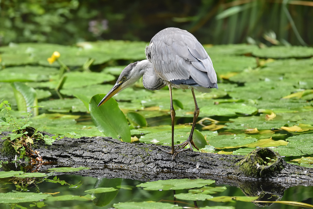 A grey heron fishing from a log