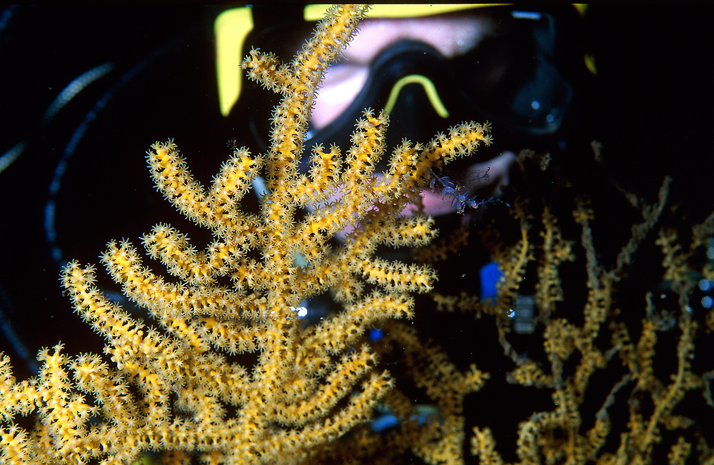 Sea Fan (Paramuricea placomus)is studied by a trimix diver.   Location: Norway