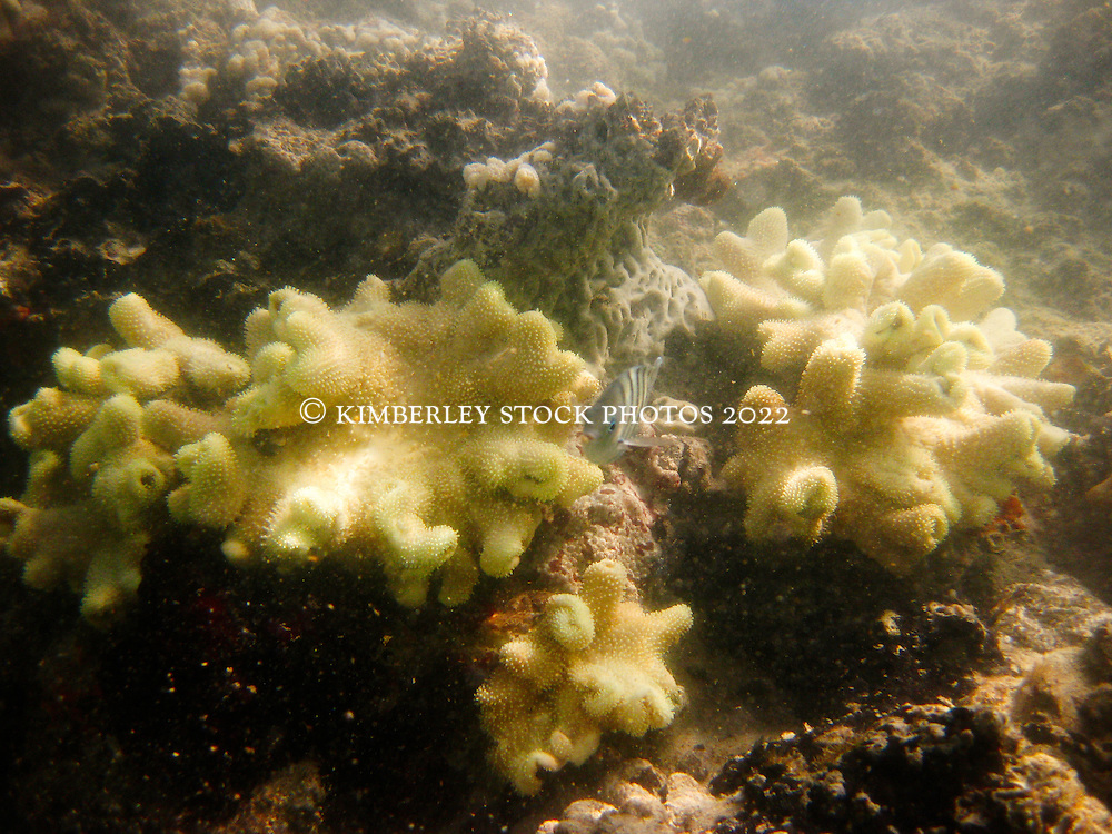 Fish and corals underwater at Lombadina on the Dampier Peninsular on the Kimberley coast.   The Kimberley has the highest diversity of coral species of any area in Western Australia.