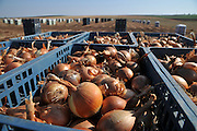 Onion Field at harvest. Photographed in Israel, Golan Heights