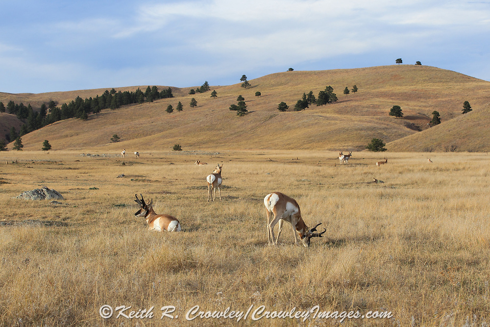 A herd of Pronghorns (Antelope)  graze and rest in short-grass prairie habitat.
