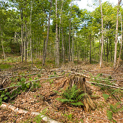 """A hardwood forest after a selective harvest.  This stand of trees was cut on a """"diameter cut"""" basis in the 1960's.  This 2005 harvest is a thinning operation with the goal of creating an uneven aged stand.  Dartmouth College forest - Second College Grant, NH."""