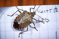 Brown Marmorated Stink Bug - Indoor Spring Nature. Image taken with a Nikon D3s and 105 mm f/2.8 VR macro lens  (ISO 200, 105 mm, f/16, 1/60 sec) and ring-flash.