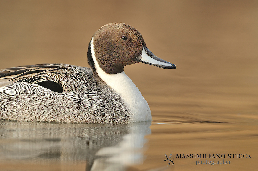 The Pintail or Northern Pintail (Anas acuta) is a duck with wide geographic distribution that breeds in the northern areas of Europe, Asia and North America. It is migratory and winters south of its breeding range to the equator. Unusually for a bird with such a large range, it has no geographical subspecies if the possibly conspecific duck Eaton's Pintail is considered to be a separate species...This is a large duck, and the male's long central tail feathers give rise to the species' English and scientific names. Both sexes have blue-grey bills and grey legs and feet. The drake is more striking, having a thin white stripe running from the back of its chocolate-coloured head down its neck to its mostly white undercarriage. The drake also has attractive grey, brown, and black patterning on its back and sides. The hen's plumage is more subtle and subdued, with drab brown feathers similar to those of other female dabbling ducks. Hens make a coarse quack and the drakes a flute-like whistle...The Northern Pintail is a bird of open wetlands which nests on the ground, often some distance from water. It feeds by dabbling for plant food and adds small invertebrates to its diet during the nesting season. It is highly gregarious when not breeding, forming large mixed flocks with other species of duck. This duck's population is affected by predators, parasites and avian diseases. Human activities, such as agriculture, hunting and fishing, have also had a significant impact on numbers. Nevertheless, this species' huge range and large population mean that it is not threatened globally.