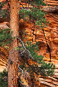 Ponderosa pine and sandstone wall, Zion National Park, Utah USA