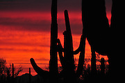 Saguaro cactus at sunset during monsoon season in Ironwood Forest National Monument, Sonoran Desert, Marana, Arizona, USA.