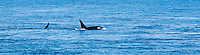 Two Killer Whales surface off Lime Kiln Point on San Juan Island, Washington, USA.