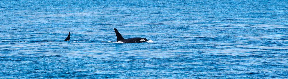 Two Killer Whales surface off Lime Kiln Point on San Juan Island, Washington, USA.