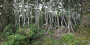 Mangrove woodland in the Everglades