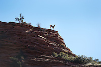 Mountain goat perched atop a sandstone butte in Zion National Park, Utah.