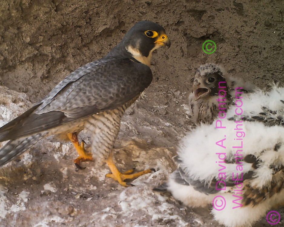 Adult peregrine falcon with 27-day-old nestlings.  One has turned away with pery that was just delivered. The nestlings have some body feathers showing through the down, © 2013 David A. Ponton [photo by motion-activated camera, low-resolution limits repro. size]