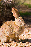 Desert cottontail rabbit (Sylvilagus audubonii), Carrizo Plain National Monument, California