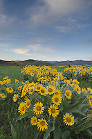 Arrowleaf Balsamroot (Balsamorhiza sagittata) growing in meadows of the Methow Valley, North Cascades Washington