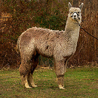 "(PSTORE) Little Silver 03/09/2004   ""Highlander"" an Alpaca owned by Shawn Takacs 148 Winding Way in Little Silver NJ  732-758 0456.  Michael J. Treola Staff Photographer..M JT"