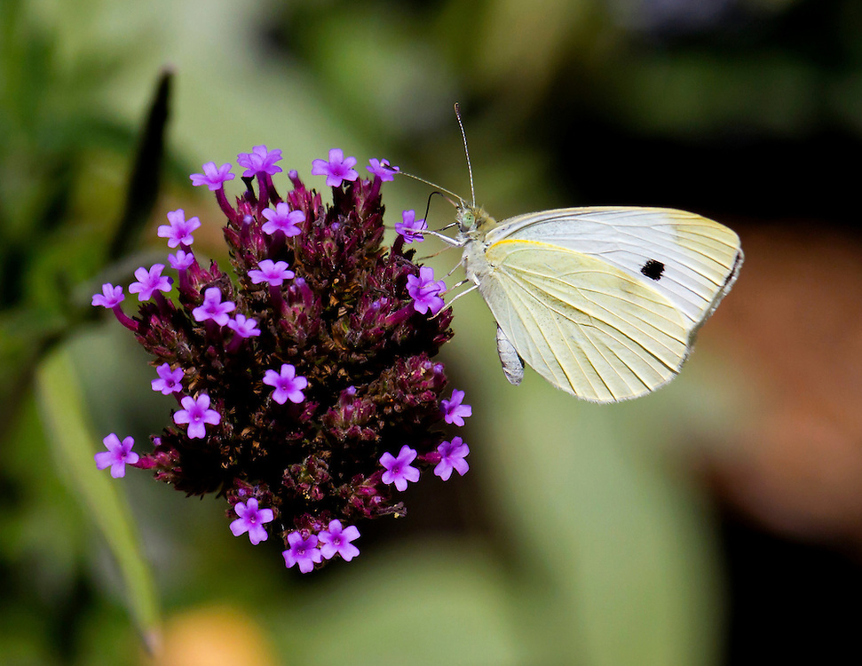 A tiny white butterfly on a butterfly flower at the Shakespeare Gardens.