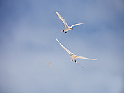 Red-tailed Tropic birds in flight