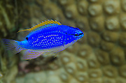 South Seas Devil Damselfish (Chrysiptera Taupou)<br /> Coral Reef<br /> Koro Island<br /> Fiji. South Pacific
