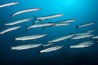 Schooling Barracudas<br /> <br /> Shot in Indonesia