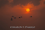 Silhouetted Ibis Fly at Sunset
