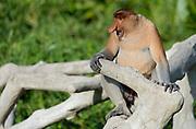 Adult male Proboscis Monkey (Nasalis larvatus) in Labuk Bay, Sabah, Borneo.