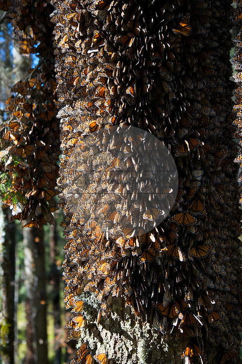 Monarch Butterflies mass on a tree trunk in the Sierra Chincua mountain at the Monarch Butterfly Biosphere Reserve in Sierra Chincua central Mexico in Michoacan State. Each year hundreds of millions Monarch butterflies mass migrate from the U.S. and Canada to Oyamel fir forests in the volcanic highlands of central Mexico. North American monarchs are the only butterflies that make such a massive journey—up to 3,000 miles (4,828 kilometers).