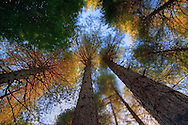 Looking up on a windy day in the amazing forest of conifers of Valdu Niellu, in the heart of Corsica, France. This huge trees, known locally as Pino Lariccio, are many centuries old and some of them are taller than 40 meters. Because of the strong wind I decided for a long exposure - with the help of a 10 stops ND - in order to blur the tree tops, thus giving the whole scene a dreamy feeling.
