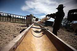NAMIBIA GROOTFONTEIN 2MAY14 - Farmer Martinus van Blerk tends to his cattle on the Omega farm near Grootfontein, Namibia.<br /> <br /> The farm holds about 700 hear of cattle, mostly Brahman-Charolais cross breeds. <br /> <br /> <br /> <br /> jre/Photo by Jiri Rezac<br /> <br /> <br /> <br /> &copy; Jiri Rezac 2014