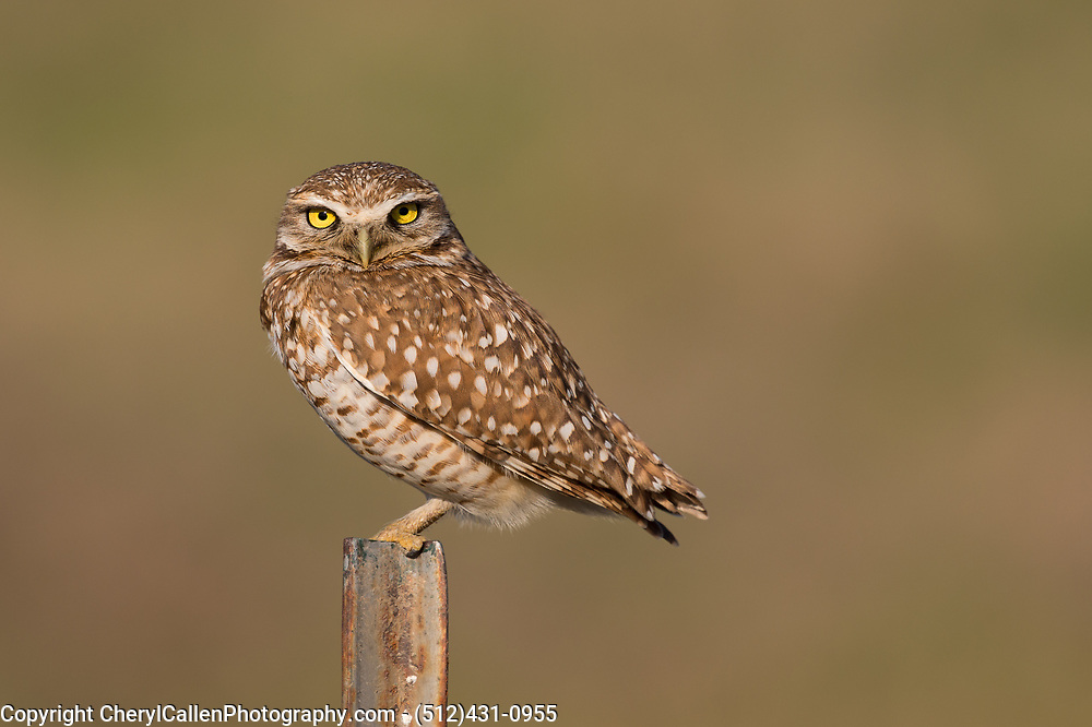 Burrowing Owl on pole