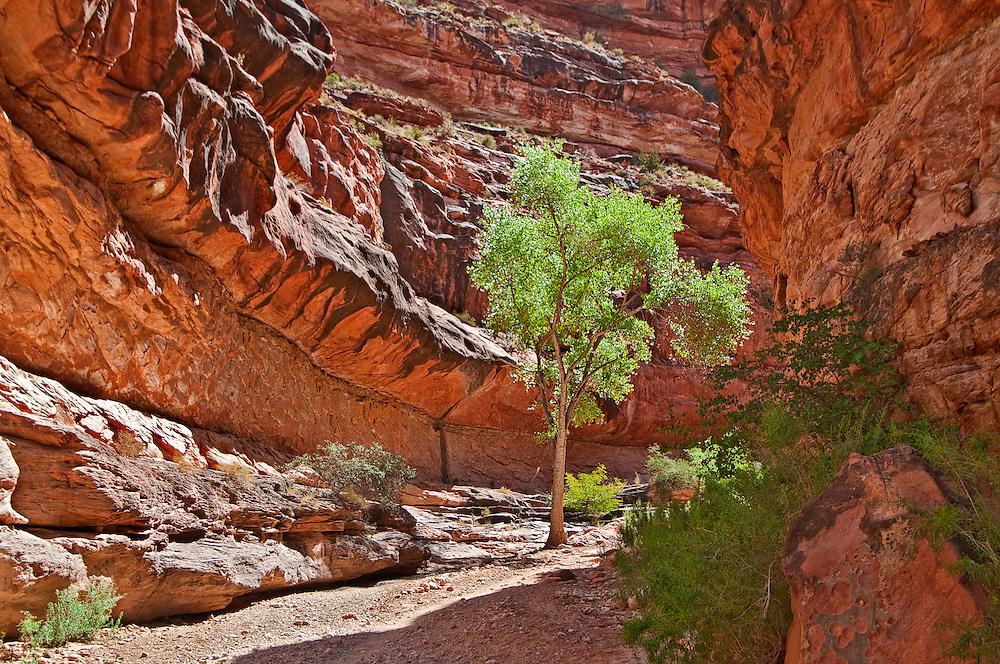 Arizona, Hualapai Canyon, Havasupai Nation.  Reservation, Grand Canyon region, Cottonwood tree