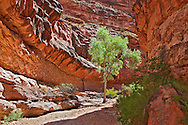 Arizona, Hualapai Canyon, Havasupai Nation.  Reservation, Grand Canyon region, Cottonwood tree