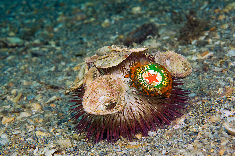 Sea Urchin (Lytechinus variegatus) with shells and a beer bottle cap or top attached to it in the Lake Worth Lagoon, Florida.