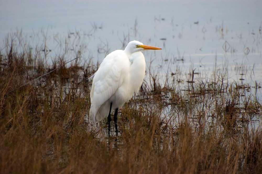 A great egret stands on the edge of a brackish pond at dawn on a chilly winter morning in the St. Marks National Wildlife Refuge.