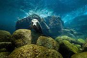 Mexico, Baja California, Sea of Cortez. A California sea lion at Rabijunco dive site.