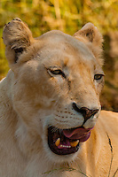 White lion female, Lion Park, near Johannesburg, South Africa. The white lion is a rare color mutation of the Timbavati region of South Africa.