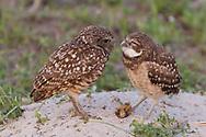 Adult burrowing owls stares at juvenile at to burrow, © 2011 David A. Ponton