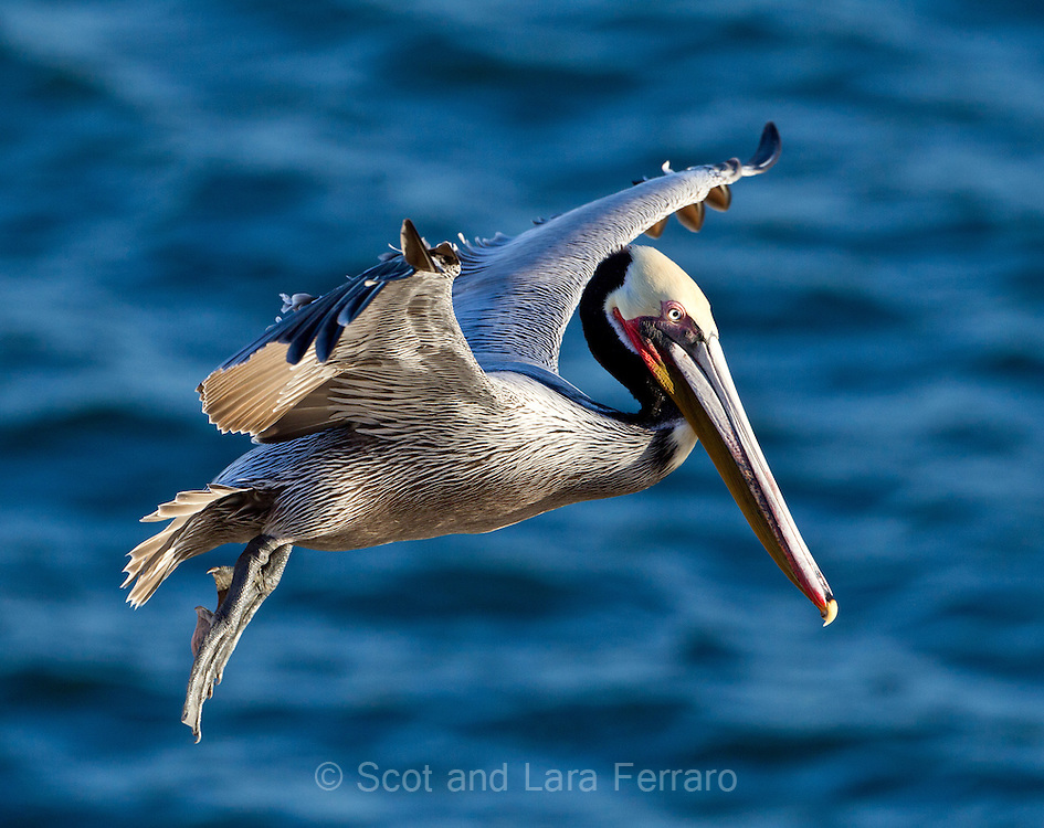 A brown pelican in breeding colors begins to land.